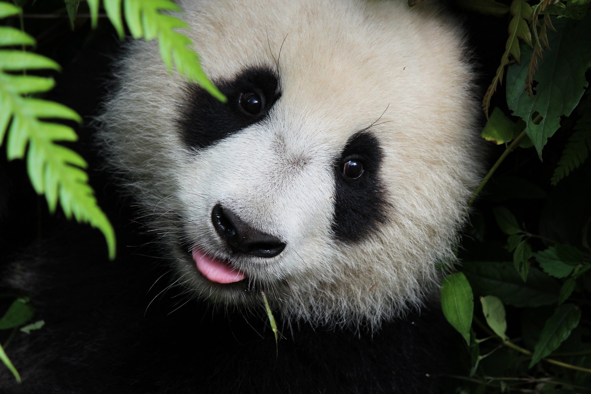 Panda cub, by Marc Blickle from Flickr